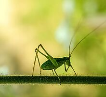 cricket in green  by silverphart