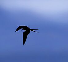 Magnificent Frigate Bird Over The Galapagos by Al Bourassa