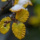 Fagus on ice by bluetaipan