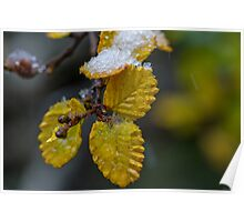 Fagus on ice Poster