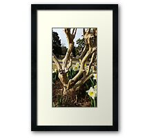 Twisted Daffodils Framed Print