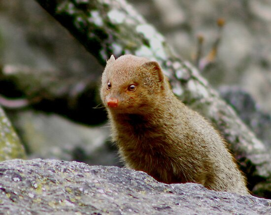 Curiosity never killed the mongoose by Graeme M