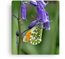 Orange tip Butterfly Canvas Print