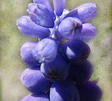 Grape Hyacinth by vigor