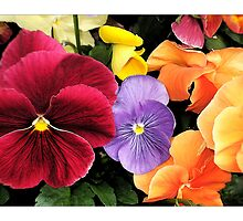 Spring Pansies by Harvey Tillis