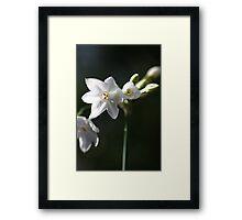 Paperwhite Framed Print