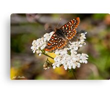 Checkerspot Butterfly on a Yarrow Blossom Canvas Print
