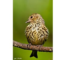 Pine Siskin With Yellow Coloration Photographic Print