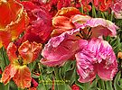 Colorful Parrot Tulips by © Kira Bodensted