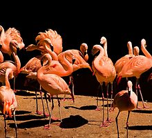 Flamingos by Country  Pursuits