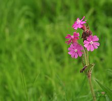 Red Campion by MsheArt2