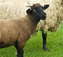 Watching Ewe Sticker