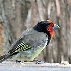 Black collared barbet by Elizabeth Kendall