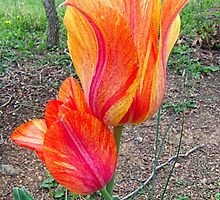 Fiery Tulips by James Brotherton