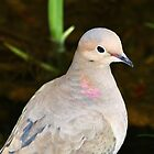 Mourning Dove Portrait by Debbie Oppermann