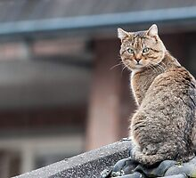 stray cat on the roof of the barn by stresskiller