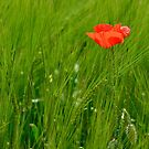 Poppy in Wheat Field by jojobob