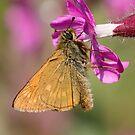 Large Skipper Butterfly by Neil Bygrave (NATURELENS)