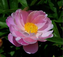 Peony Blossom in Pink.. by FotoBloke