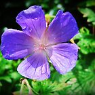Blue Geranium  by chelo