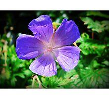 Blue Geranium  Photographic Print