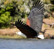 African Fish Eagle in Flight Over the Chobe River by Robert Kelch, M.D.