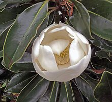 Gardenia by John  Kapusta