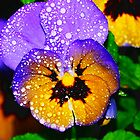 Pansy in the Rain  by Tori Snow