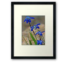 Blue Spring Beauty - Bridgton,  Maine Framed Print