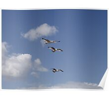 Three Gulls in stacked flight Poster
