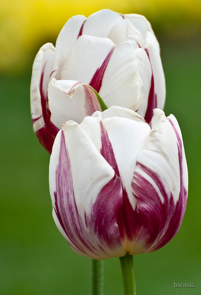 Spring is for Tulips  by barnsis