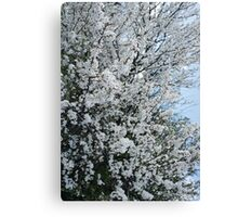 photo of tree in blossom Canvas Print