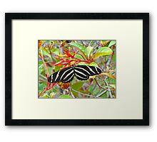 Zebra Longwing  Framed Print