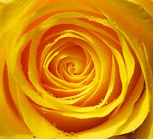 Yellow Rose by buttonpresser