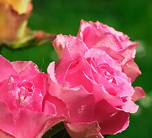 Raindrops on Roses..... by buttonpresser
