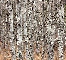 Aspen Poplar Woodlot by Jim Sauchyn