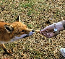Feeding Mr fox by Roxy J
