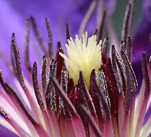 Purple Flower Macro - Clematis by Stuart Hogton