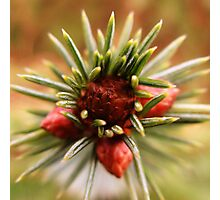 Young Pine Cone Photographic Print
