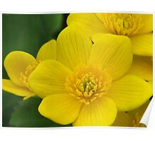 Yellow Buttercups Poster