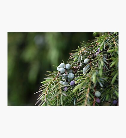 Juniperus berries on a tree Photographic Print
