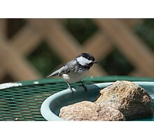 Black-capped Chicadee Photographic Print