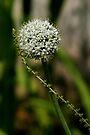 Onion Flower by Jens Helmstedt