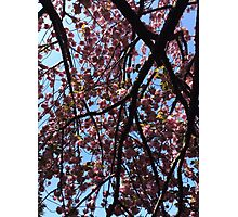 Cherry Blossom, Japan Photographic Print