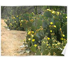 Prickly Pear Blooms Abundant Poster