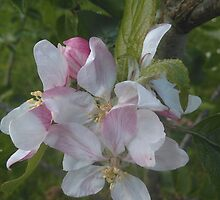 Apple Flower 2 by audiomad