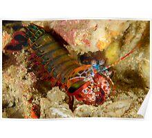 Peacock Mantis Shrimp - Odontodactylus scyllarus Poster