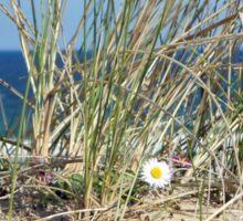 Daisy on a Sand Dune - Western Isles, Scotland Sticker