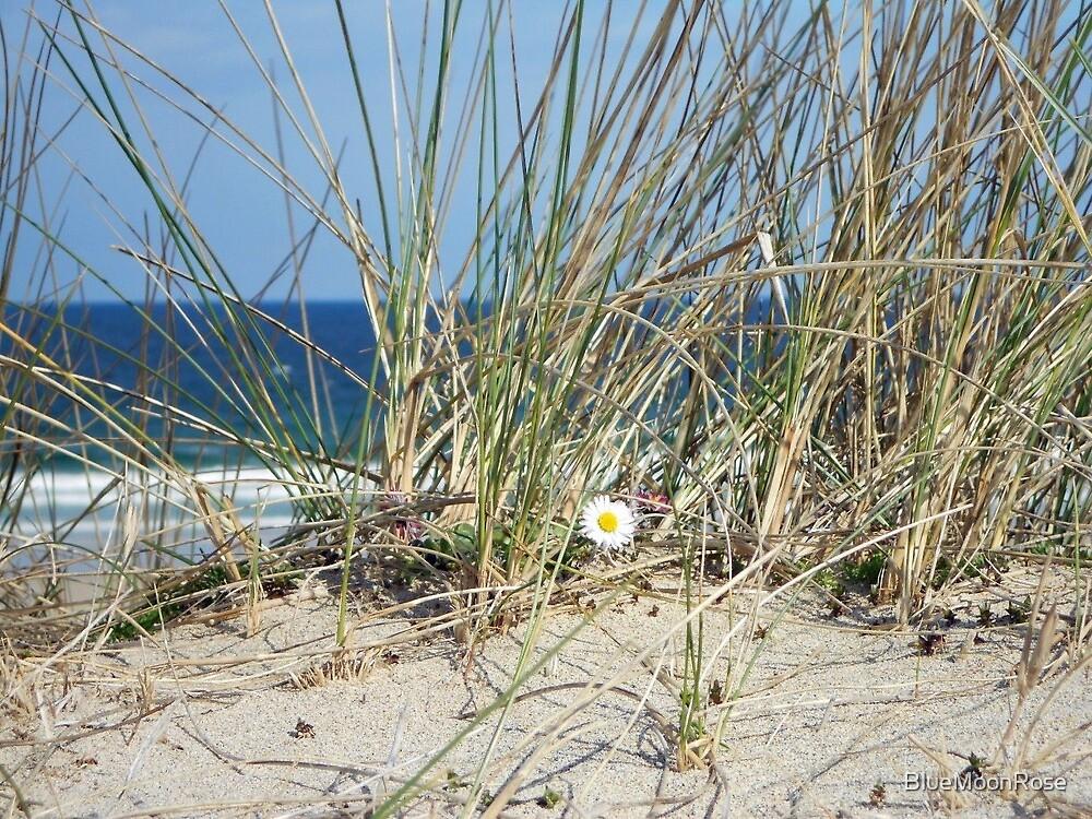 Daisy on a Sand Dune - Western Isles, Scotland by BlueMoonRose
