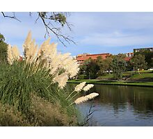 Pampas Grass & The River Torrens through the C.B.D. Adelaide. Sth. Aust. Photographic Print